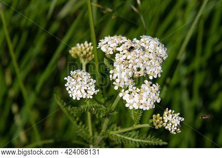 White Flowers With A Foraging Insects In A Field