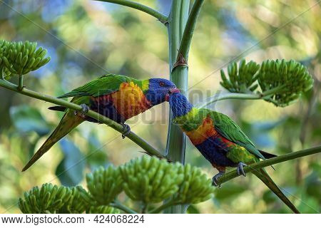 Two Colorful Rainbow Lorikeets Pecking Each Other On A Tree Branch