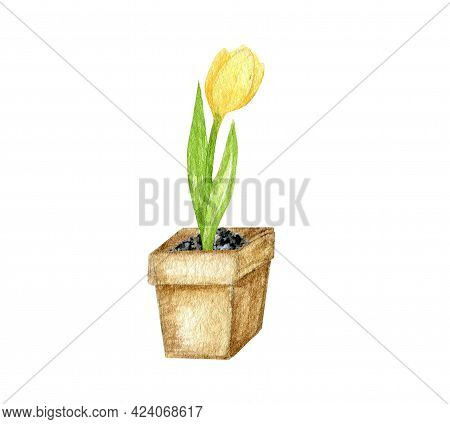 Spring Tulip Watercolor Hand Drawn Illustration. Tulip Flower Growing From The Bulb In Ceramic Pot.