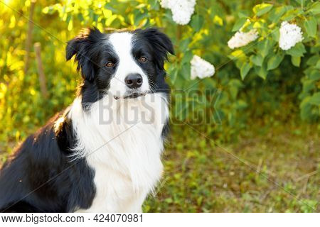 Outdoor Portrait Of Cute Smiling Puppy Border Collie Sitting On Park Background. Little Dog With Fun