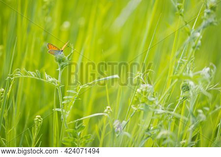 Small Copper, Lycaena Phlaeas. Lycaenidae, Orange Butterfly, Insect. Perching On Grass. Copper Butte
