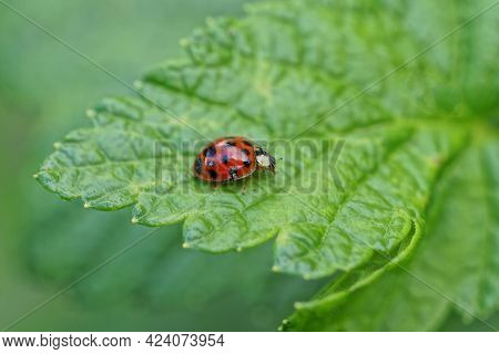 One Big Red Ladybird On A Green Leaf In The Summer Garden