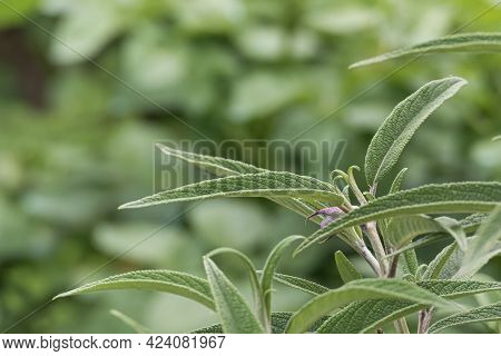 Close Up View Of Salvia Leucantha Plant Leaves Growing Outdoors