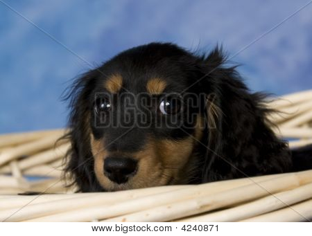 Schatzi, The Black And Tan Long Haired Dachshund