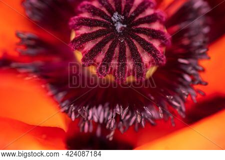 Poppy Head Macro Shot, Poppy Flower On A Field, Moving With Wind Blowing, Close Up