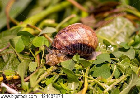 Garden Snail Drink Water, Macro Nature, Extreme Close Up Snail I