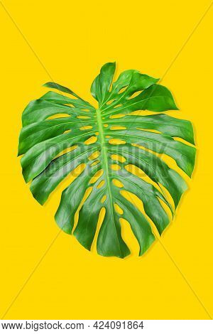 Fresh Big Green Monstera Or Swiss Cheese Plant Leaf With Unusual Shape Of The Leaves Isolated On Yel