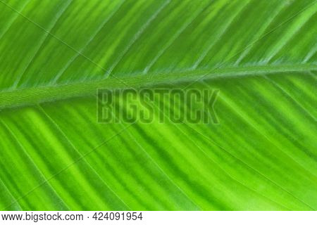 Close-up Fresh Green Leaf It Show Detail And Texture, Greenery Nature Background