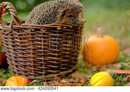 Hedgehog In A Basket With Vegetables. Forest Hedgehog.pumpkins, Wicker Basket And Hedgehog In The Au
