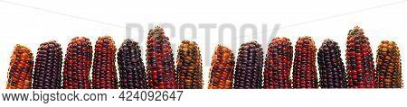 Corn Cob Banner. Multicolored Variegated Corn Isolated On White Background.multicolored Corn Cob Pat