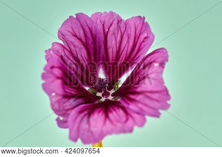 Pink Mallow Or Hollyhock. Closeup Of Alcea Rosea.