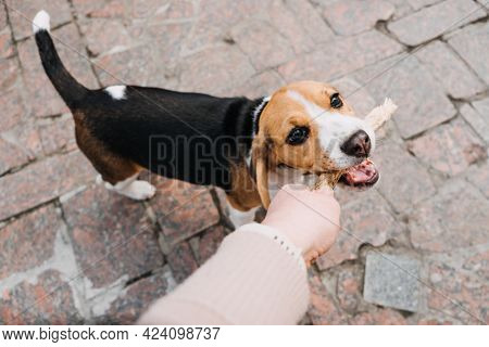 Outdoor Activities For Dog Puppy Beagles. Games To Play With Puppies. How To Entertain Puppy And Adu