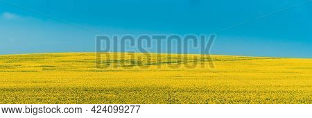 Rural Landscape With Blossom Of Canola Colza Yellow Flowers. Rapeseed, Oilseed Field Meadow. Panoram