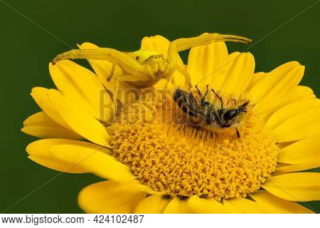 Flower Crab Spider With Prey On Aster