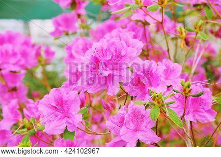 Azalea Flowering Plant Blooming. Azalea Festival. Flowering Of Various Azaleas In The Greenhouse.