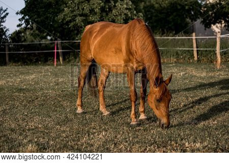 Brown Horse Grazes The Grass At Ranch On Summer Evening Insunset. Calm And Serene. Beauty Of Nature.