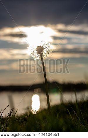 Dandelion At Orange Sunset. Fluffy Dandelion Against Sunset Front Sun Close Up, Blurred Background.