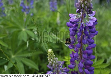 Lupinus, Commonly Known As Lupin Or Lupine, Is A Genus Of Flowering Plants In The Legume Family Faba