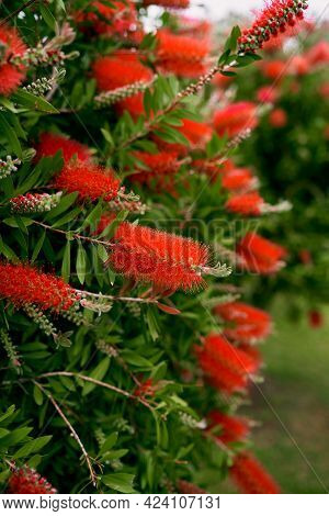 Large Red Callistemon Flowers On A Green Bush