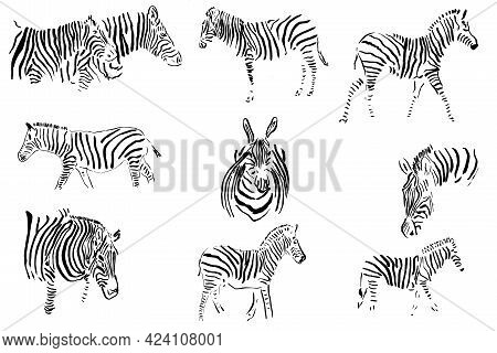 Monochrome Image Of A Zebra In Different Angles. Isolated On A White Background.