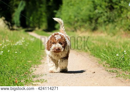 Small Beautiful Italian Waterdog Puppy Is Walking On A Small Way In The Garden