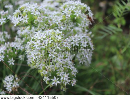 Closeup Of White Flowers Of The Garlic Chives, Allium Tuberosum. Medicinal Plants, Herbs In The Orga