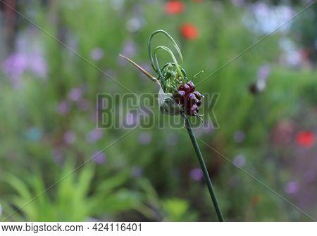 Allium Vineale Dready In Organic Garden. Dready Is A Clump-forming, Bulbous Perennial.