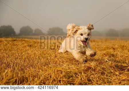 Beautiful Havanese Dog Is Running Over A Stubble Field