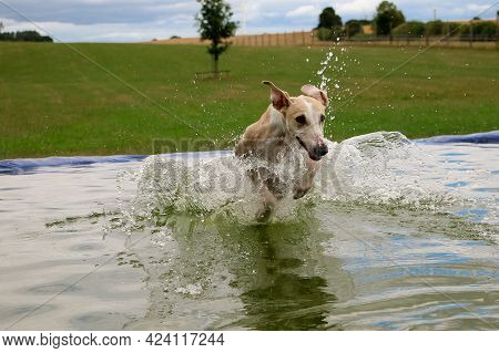 Funny Galgo Is Jumping Into The Pool In The Garden