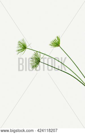Papyrus plant isolated on white background