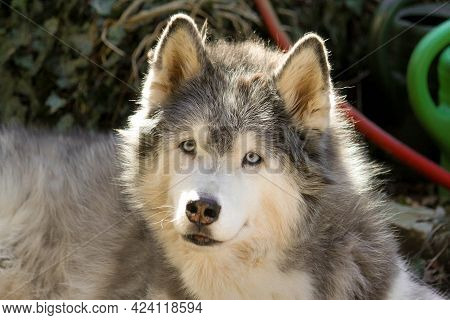 Head Portrait Of An Old Husky In The Garden