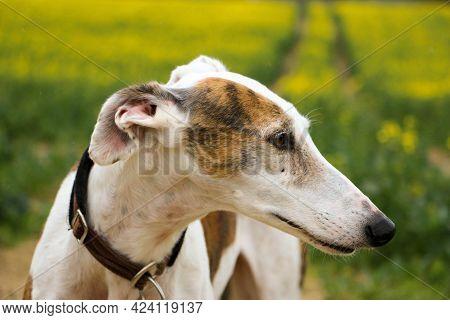 Beautiful Side View Head Portrait Of A Galgo In A Rape Seed Field