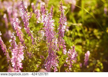 Beautiful Purple Flowers In The Sun Sunset Light Close-up. Lush Bloom Of Wild Flowers. Fabulous Natu