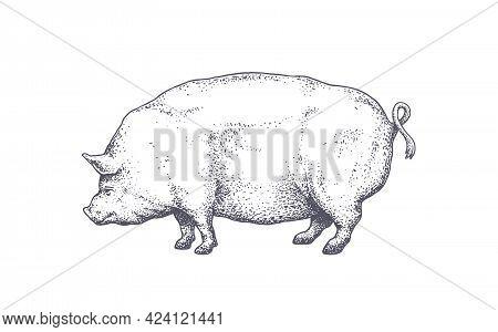 Pork, Pig. Vintage Retro Print, Black White Pig Drawing, Engrave Old School Style. Sketch Artwork Si
