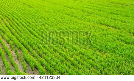 Asian Green Rice Fields. Top View Of Rices Paddy Field, Natural Background