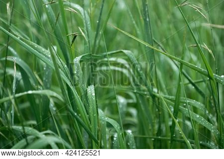 Green Grass Covered With Water Drops After Rain Summer Natural Background