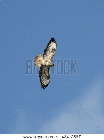 Buzzard (Buteo buteo) in flight