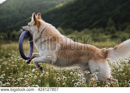 Large White Fluffy Dog Runs Through Green Chamomile Field And Nibbles On Blue Toy Ring. Sports With