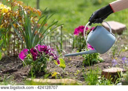 Cropped Shot Of Gardeners Hand In Black Glove Watering Blooming Beautiful Magenta Petunia Flowers Wi