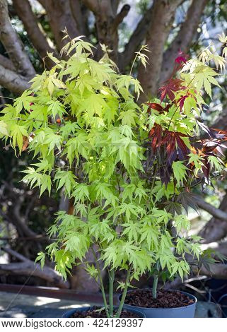 Vertical Image Of Young Acer Maple Tree , In Pots Nature Concept For Any Design. Soft Selective Focu