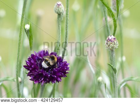 Concept Of Bees In Danger Of Extinction Due To Changes In The Environment, Showing A Bumblebee Nestl