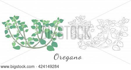 Two Hand Drawn Sketches Of Oregano Or Wild Marjoram. Vector Of The Italian Oregano Made With Color A