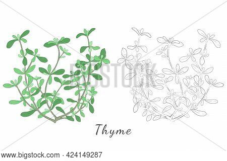 Two Hand Drawn Picture Of Thyme Or Thymus Vulgaris With Color Fill And Contour And With Outlines Onl
