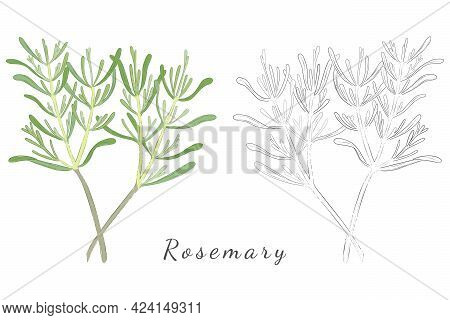 Hand Drawn Rosemary Or Salvia Rosmarinus With Color Fill And Without. Rosemary Twigs Isolated On Whi