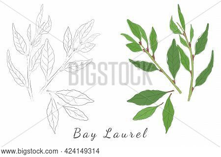 Two Hand Drawn Pictures Of Laurel Or Bay Tree With Color Fill And Without. Laurel Shrubs Isolated On