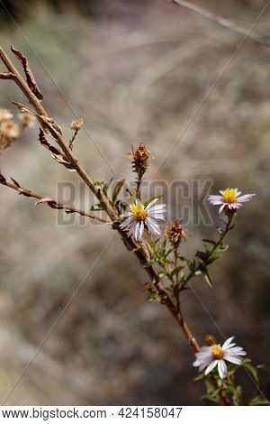 Yellow And Purple Terminal Indeterminate Radiate Head Inflorescences Of California Aster, Corethrogy