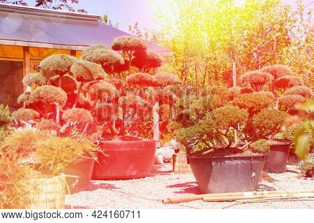 Sale Of Seedlings In The Plant Nursery. Decorative Trimmed Conifers For The Garden Landscape. Summer