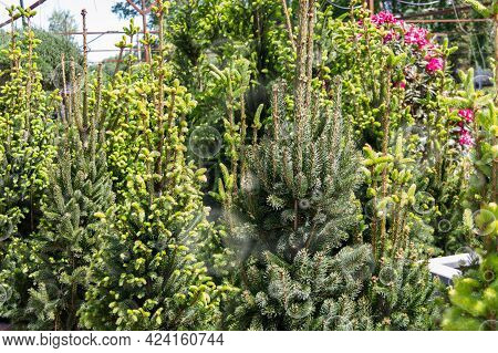 Sale Of Young Seedlings In The Garden Center. Many Of Small Coniferous Trees In The Plant Nursery.