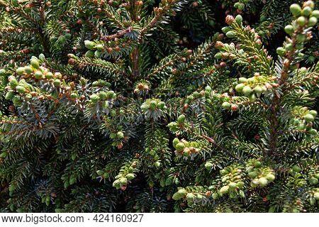 Juniper Tree Texture Nature Background. Evergreen Coniferous Juniper Branch Close Up