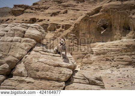 A Domestic Dog Sitting On A Gigantic Rock In The Timna Valley Park, The Negev Desert, Southern Israe